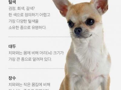 치와와 순종 예쁜 강아지 분양